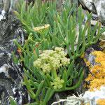 Criste marine ou perce pierre (Belle Ile en mer)