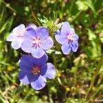 Mouron de Monel Anagallis monelli  (parc naturel de Donana Andalousie)