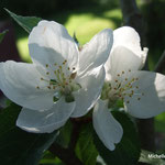 Fleurs de cerisier (Morvan)