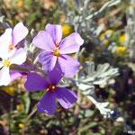 Giroflée des sables  (parc naturel de Donana Andalousie)