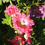 Rose trémière (Etalante Côte d'Or)