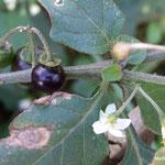 Morelle noire ou raisin de loup (Seine et marne)