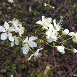 fleurs d'Aubépine  (Seine et marne)