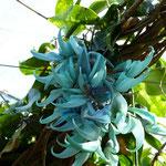 Strongylodon macrobotrys, liane de jade (Madère)