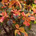 Amaranthus tricolore (Chenonceaux)