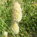 Crételle hérissée Cynosurus echinatus  (parc naturel de Donana Andalousie)
