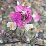 Bugrane rampante  (parc naturel de Donana Andalousie)