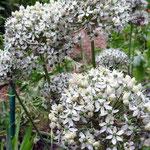 Allium Mont Blanc (Giverny)