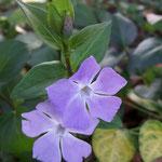 Pervenche vinca ou violette des sorciers (Seine et marne)