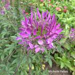 Cléome ou fleur araignée (Chenonceaux)