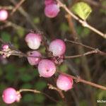 Symphorine rose, arbre aux perles blanc rosé (Seine et marne)