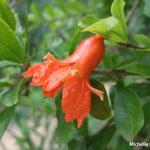 Fleur de grenadier (Camargue)