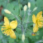 Chélidoine ou herbe aux verrues (Seine et marne)