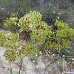 Thapsie velue   (parc naturel de Donana Andalousie)
