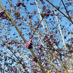 Callicarpa ou arbuste aux bonbons (Seine et marne)