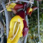 Thumbergia mysorensis (Madère)