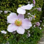Anémones japonica Richard Arrhens (parc Beauregard))
