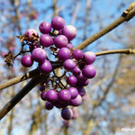 Callicarpa ou arbuste aux bonbons détail (Seine et marne)