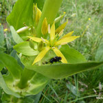 Gentiane jaune  (Auvergne)