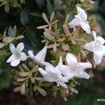 Abélia à grandes fleurs (Seine et marne)