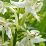 Orchis verdâtre, Platanthère livide   détail (Auvergne)