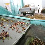 """Gut """"durchgerüttelt"""" und somit von grobem Schmutz befreit, geht es weiter für die Oliven"""