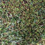 Frisch geerntete Oliven im Trichter
