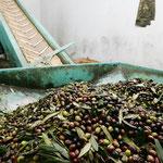 Vom Trichter aus werden die Oliven auf einem Laufband zur nächsten Station befördert