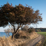 Coast Tree (Fehmarn)