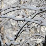 春を待つ芽も、雪帽子