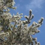 松葉もたっぷり雪化粧しています。