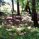 Schafe im Tiefschlaf