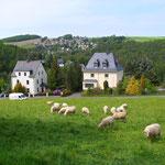 Schafe auf der Wiese am Waldweg