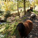Schafe von Einöd