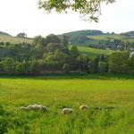 Schafe vorm Geiersberg