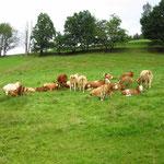 Kühe am Zöpfelsteig