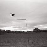 le vol du leurre,  plateau d'Auvers sur Oise  (6)