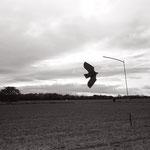le vol du leurre,  plateau d'Auvers sur Oise  (2)