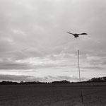 le vol du leurre,  plateau d'Auvers sur Oise  (4)