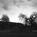Vexin, les saules de Theuville après la tempête de décembre 1999 (1)
