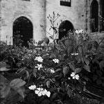 Le jardin médiéval, les roses du roi Portland (9)