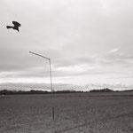 le vol du leurre,  plateau d'Auvers sur Oise  (5)