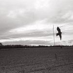 le vol du leurre,  plateau d'Auvers sur Oise  (3)