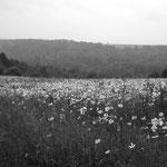 Vexin, Nesles-la-Vallée, les marguerites, jachère, juillet 2013 (4)