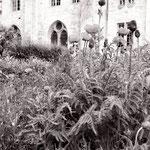 Le jardin médiéval, les pavots (2)