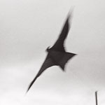 Le leurre du corbeau, détail