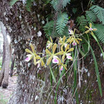 Peace at Carlton Reserve - Butterfly orchids - Encyclia tampensis