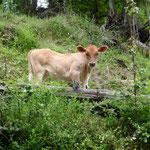 Un petit veau dans le village