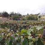 Vignes de Kahétie, en Géorgie