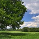 Nigerlbuche bei Neualbenreuth